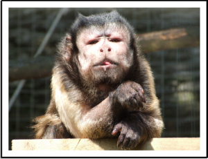 Joey the capuchin monkey