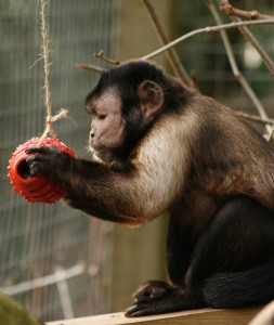 Joey with enrichment toy copyright The Monkey Sanctuary Trust