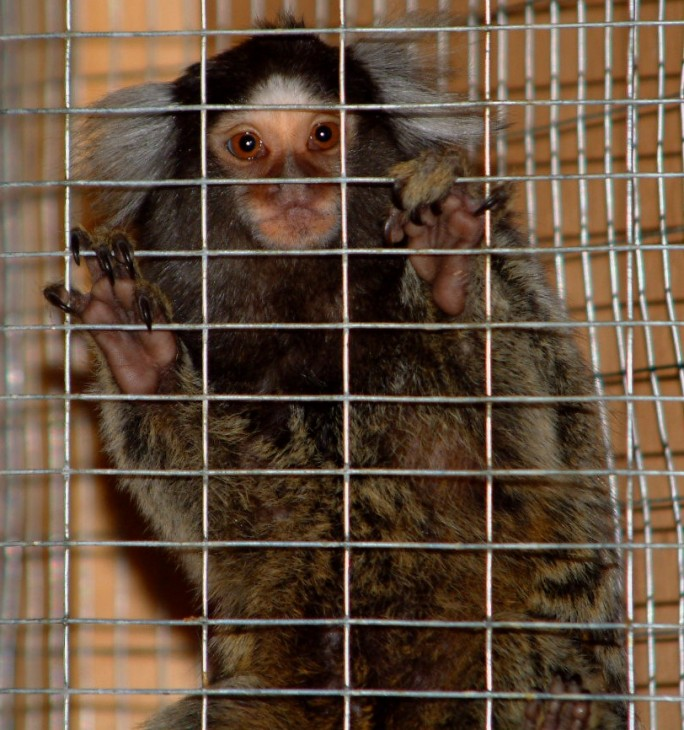 Marmoset appeal 2