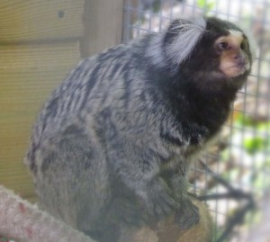 Jerry the Marmoset